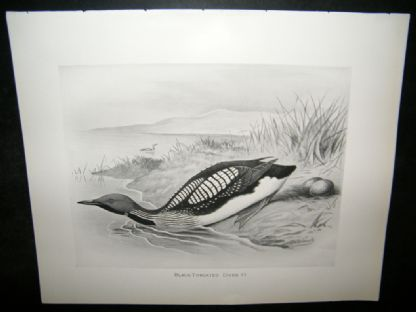 Frohawk 1898 Antique Bird Print. Black-Throated Diver | Albion Prints